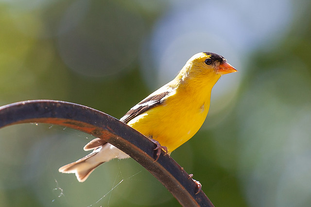 A yellow finch perched on a metal bird feeder