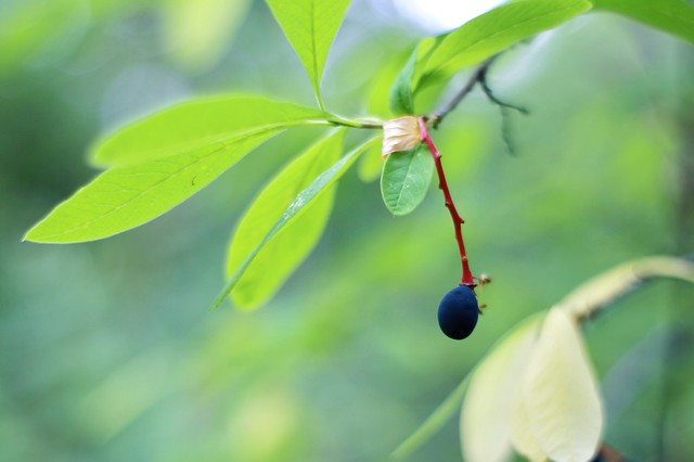 An osoberry with a red stem hanging from a branch