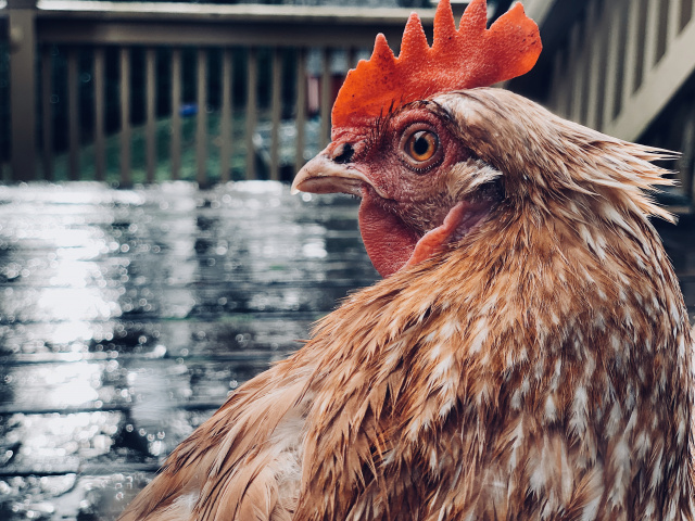 Chicken looking back and brooding