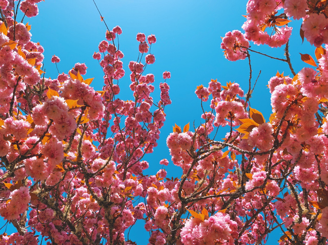ornamental plum tree branches with many blooms