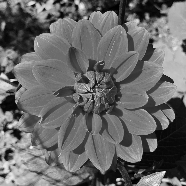 Black and white closeup of a flower