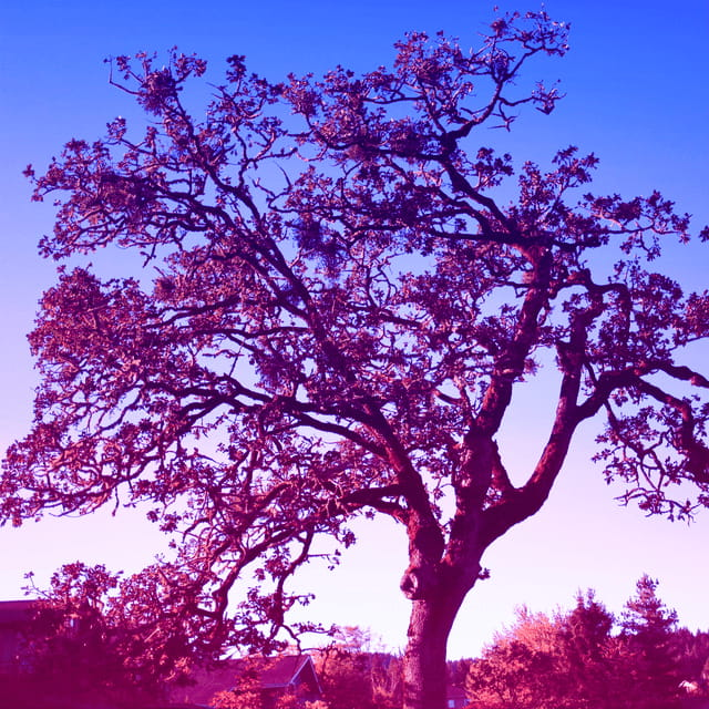 an old oak tree with unusual colors